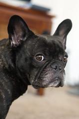 Alternate Glare (Lainey1) Tags: dog nikon glare oz bulldog stare frenchie frenchbulldog ozzy frogdog d90 lainey1 nikond90 elainedudzinski