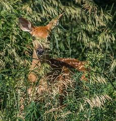 Fawn 1 (Jan Crites) Tags: park baby nature nikon wildlife sigma deer spots fawn whitetaileddeer d600 jelkecreekbirdsanctuary dundeetownship 150500mm