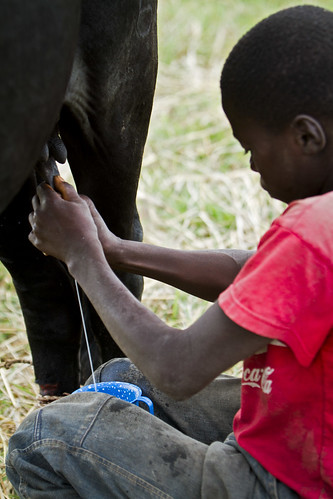 Milking a cow in Mongu, Western Zambia. Photo by Felix Clay/Duckrabbit, 2012.
