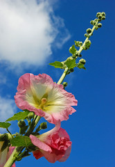 Hollyhock (Messent) Tags: pictures flowers summer england poetry hollyhock tanka poetryandpicturesinternational poetryforall
