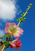 Hollyhock (Messent) Tags: pictures flowers summer england poetry hollyhock tanka poetryandpicturesinternational poetryforall