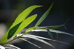 willow (focallocus) Tags: uk light green nature garden ian leaf nikon foliage willow d5100 focalllocus