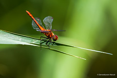 dragonflies (Den Boma Files) Tags: wild macro nature beautiful beauty animal closeup fauna bug insect flora colorful dragon natural dragonfly outdoor wildlife wing killer tropical species fragile arthropod odonata sympetrum crocothemis