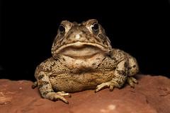 Weodhouse's Toad (Bufo woodhousei) (Eric Gofreed) Tags: arizona sedona toad mybackyard villageofoakcreek yavapaicounty woodhousestoad bufowoodhousei