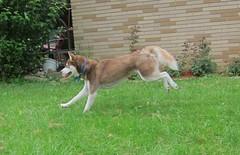 Jumping Frodo (Fan-T) Tags: dog puppy jump husky siberian frodo berea