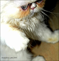 Cute as a button.. (GIORGINOFOREVER**) Tags: baby cute nature cat persian frankie growing thelittles kittn