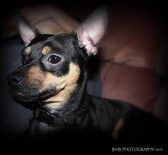 Rolo why so serious? ( B.H.B. PHOTOGRAPHY ) Tags: dog brown chihuahua black miniature flickr serious doberman mansbestfriend minpin smallbreed flickrdogs blackandbrown smartdog smallbreeddog bhbphotography bhbphotography dobermanandchihuahuamix
