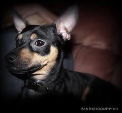 Rolo why so serious? († B.H.B. PHOTOGRAPHY †) Tags: dog brown chihuahua black miniature flickr serious doberman mansbestfriend minpin smallbreed flickrdogs blackandbrown smartdog smallbreeddog bhbphotography †bhb†photography dobermanandchihuahuamix