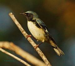 Black-throated Blue Warbler - Chicago 091013 (SteveJnerChicago) Tags: chicago bird nature sony montrose a77 sal70400g