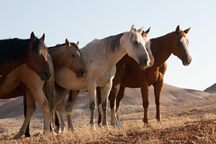 Horses, Shell, Wyoming (Marilyn Dunstan Photography) Tags: horses horse west cowboys togetherness us cowboy unitedstates shell wranglers running together western wyoming horseback equine wrangler companionship