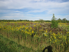 Golden Rod Photo