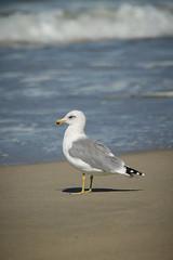 California Gull (Larus californicus) (Photo Patty) Tags: californiagull laruscalifornicus salinasrivernwr
