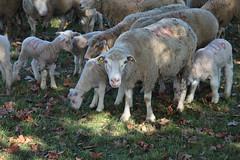 brebis-4266.jpg (patrice fender) Tags: champs agriculture moutons domaine camargue brebis troupeau agneaux saintmartindecrau