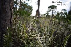 DSC_3705-flickr (Shadows vines) Tags: trees nature field landscape nikon florida 28mm tokina shallow ferns depth f28 d600 tokina28mmf28