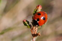 Coccinella quinquepunctata (Olli_Pihlajamaa) Tags: finland fi animalia art