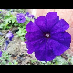 #samsung_S3 #Aspire #zai #Qatar #Manal #purple #close_up (zai Qtr) Tags: closeup square purple squareformat zai qatar aspire manal samsungs3 instagramapp uploaded:by=instagram