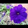 #samsung_S3 #Aspire #zai #Qatar #Manal #purple #close_up (zai Qtr) Tags: closeup square purple squareformat zai qatar aspire manal samsungs3 instagramapp uploaded:by=instagram