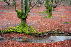 Otzarreta (Mimadeo) Tags: old trees red color tree green nature leaves forest river moss stream branch natural vibrant perspective roots vivid dry growth bark trunk root twisted