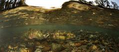 The Golden Wave (Fish as art) Tags: light ecology river stream underwater bell britishcolumbia salmon explore flyfishing shallow spawning chum alaskasalmon saumon underwaterdigitalphotography britishcolumbiasalmon salmonids salmonconservation canadianfishes paulvecseiphotography underwaterphotographypaulvecsei salmonbiology