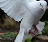 Dove DSC_2272.jpg (Sav's Photo Gallery) Tags: uk london birds dove gb hollandpark whitedove savash