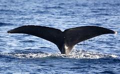 Whale TAIL (dcnelson1898) Tags: animal hawaii pacific maui whales migration tropics marinemammal humpbackwhales hawaiianislands