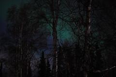 Night Lite (Rebeak) Tags: trees nature night nikon moonlight northernlights auroraborealis northpolealaska rebeak