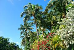 Key West (Florida) Trip, November 2013 0259Ri 4x6 (edgarandron - Busy!) Tags: trees plants tree palms keys florida palm palmtrees keywest floridakeys trumanannex