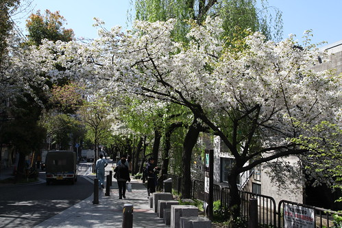 高瀬川の桜