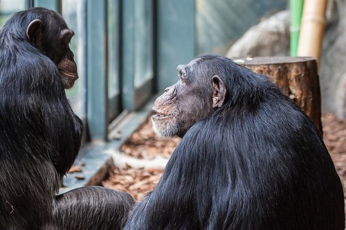 Chimpanzee | Lincoln Park Zoo