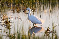 Little Egret fishing in the evening light (Explored) (Smudge 9000) Tags: england birds kent spring unitedkingdom wildlife egret 2014 egrettagarzetta nnr elmley minsteronsea