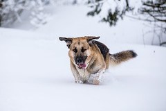 20150131_152912-1 (martin.paul) Tags: dog dogs animal animals paul tiere location hund orte germanshepherd hunde tier locations ort kangal rottenbach anatolianshepherd deutscherschferhund anatolischerhirtenhund herbartswind deutscherschferhundkangalmix mixmischling