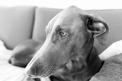 Laetitia, noir & blanc (savard.photo) Tags: bw dog sadness blackwhite interior sleepy doberman laetitia couches livingroomcouches