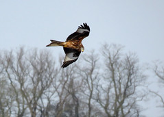 Red Kite - Milvus milvus (erdragonfly) Tags: