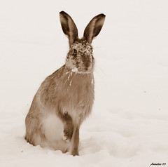 Don`t stare at me, I love to have snow in my face! (Anneliefoto) Tags: snow sepia hare sn skogshare