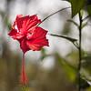 Red hibiscus [Bali, Indonesia] (Melvinia_) Tags: red bali flower nature fleur indonesia square rouge 50mm petals bokeh hibiscus squareformat pétale carré indonésie formatcarré canoneos450d digitalrebelxsi