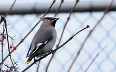 DSC_3274 Pestvogel