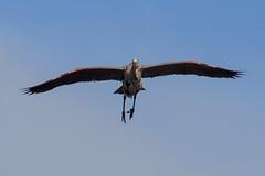 Legs down, flaps up, coming in for a landing. (M.D. Photos) Tags: greatblueheron veniceareaaudubonrookery