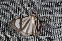 Perigramma famulata (K. Zyskowski and Y. Bereshpolova) Tags: brazil geometridae ennominae amazonas yavari javari palmari perigramma genussa famulata