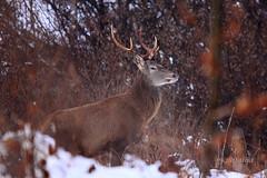 Jelen (natalija2006) Tags: red stag wildlife deer cervus elaphus jelen jelenjad