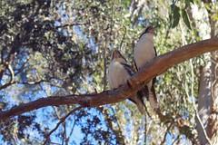 Kookaburra Pair (everyday sh_ter) Tags: park beach forest sydney waterfalls kookaburra wattamolla garie royalnationalpark audley stanwell hackerriver
