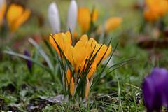 CA4A4115 (janoschg) Tags: flower germany stuttgart blume krokus badenwrttemberg canoneos5dmarkiii canon5dmarkiii stuttgart2016 stuttgartmrz2016