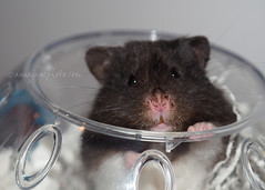 Hi Pi (.annajane) Tags: pet cute nose whiskers pi hamster syrianhamster mesocricetusauratus