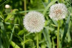 IMG_7996 (kween_beek) Tags: nature wisconsin outdoors weed dandelion wish wildflower wi