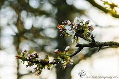 Plum Tree flowers (Sue_Todd) Tags: flowers flower spring blossom plum plumtree plumblossom