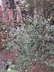 2016-05-20 at 14-05-58 (Mollivan Jon) Tags: newzealand garden places canterbury lincoln southisland species habitat reproduction cultivated mollivan lincolnuniversity taxonomy:kingdom=plantae fruitseeds taxonomy:family=myrtaceae lophomyrtusobcordata rohutu selwyndistrictcanterburyplains miscellaneouskeywords planttraits fruitcolour observationaddedtonaturewatchnz photowithassociateddata fruitcolourblack naturewatchnz taxonomy:common=rohutu taxonomy:genus=lophomyrtus taxonomy:binomial=lophomyrtusobcordata iphone4sbackcamera428mmf24
