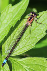 Damselfly (markyharky) Tags: macro closeup scotland clyde canal forth damselfly forthandclydecanal bluedamselfly
