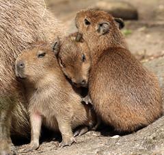 Capibara ouwehands JN6A1928 (j.a.kok) Tags: capybara ouwehands capibara