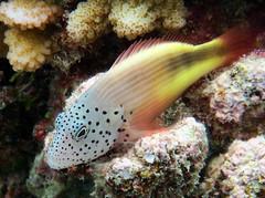 Freckled Hawkfish (dfinney23) Tags: dfinney23 2016 maldives snorkeling underwater fish freckled hawkfish