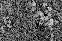 Lucky (work version) (bhop) Tags: california blackandwhite bw nature monochrome grass los fuji angeles trix fujifilm digitalbw clover clovers x100 vsco x100t