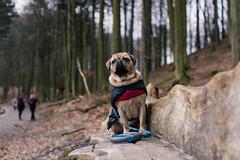 Ostseeurlaub (Margot in Love) Tags: ocean sea dog animal deutschland meer pug balticsea hund ostsee parker tier puggle mecklenburgvorpommern sassnitz